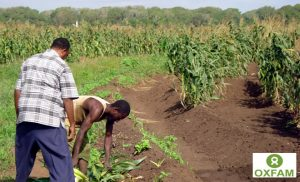Harvesting-maize-in-Middle-Juba_660_1